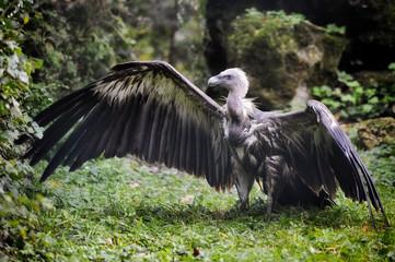 Griffon vulture spreading wings