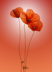 Poppy on a gradient red background