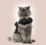 Grumpy Persian cat wearing a shiny harness on a beige background