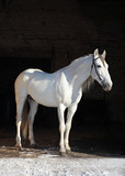 Orlov Trotter, portrait of a white (light gray) stallion