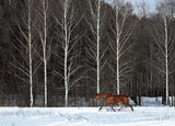 Freedom horse in winter nature