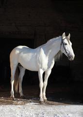 Orlov Trotter, portrait of a white (light gray) stallion