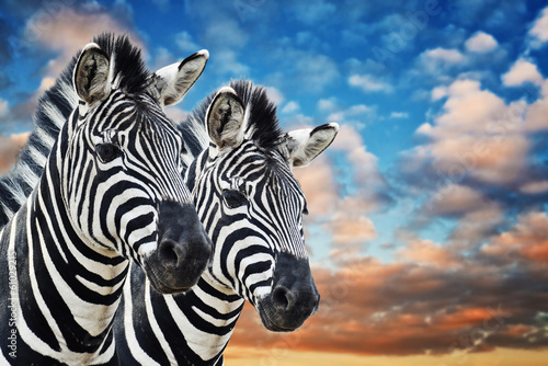 Fotobehang Zebra Zebras in the wild