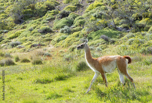 Beautiful wild guanaco