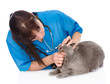 The veterinarian checks teeth to a cat. isolated on white