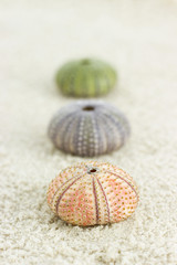 sea urchins on the beach