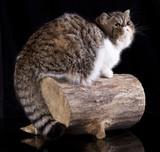 Exotic cat animals feline domestic poster