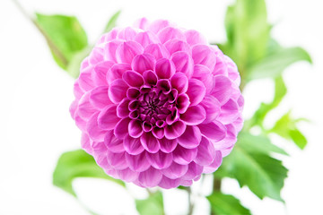 Pink Chrysanthemum Flower Isolated on White Background.