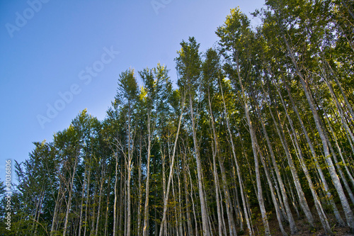 Beech forest in the summer