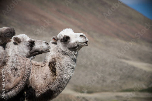Two of camels on the background hills