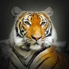 The Tiger.