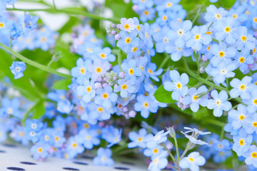 delicate blue flowers forget-me-on