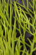 dill texture, close up of dill vegetable texture surface