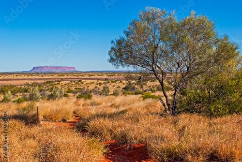 Australijski krzew (chory)