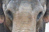 Asian Elephant Front Portrait