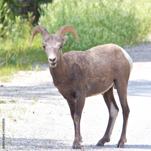 Big Horn Sheep on the Road