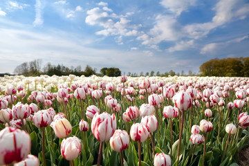 Dutch white and red tulips in sunshine