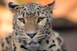 Leopard closeup photo outdoors