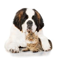 Saint bernard dog with tabby cat