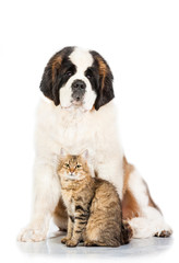 Saint bernard dog with tabby cat