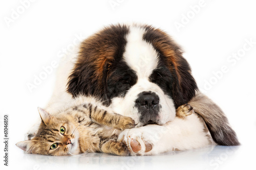Saint bernard puppy sleeping with tabby cat
