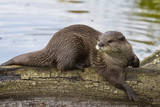 Otter Relaxing In The Sun