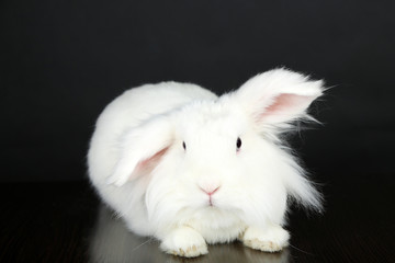 White cute rabbit, on grey background