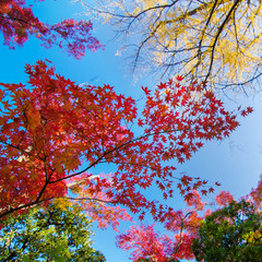 Colorful maple leaf background in autumn