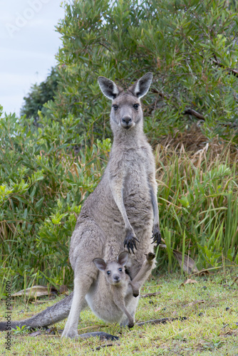 Deurstickers Kangoeroe Kangaroo Female With a Baby Joey in Pouch