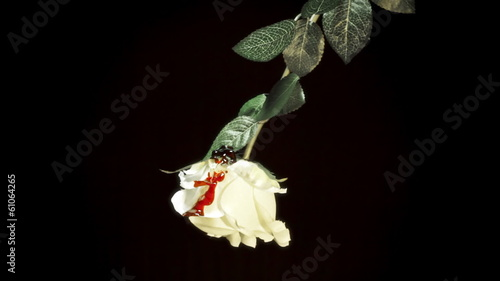 White rose bloody