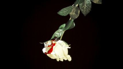 White rose hit by blood drops