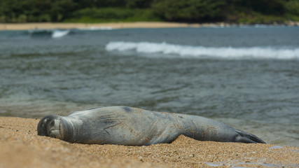 Monk Seal in Kauai