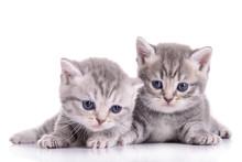 Małe kocięta szkockie