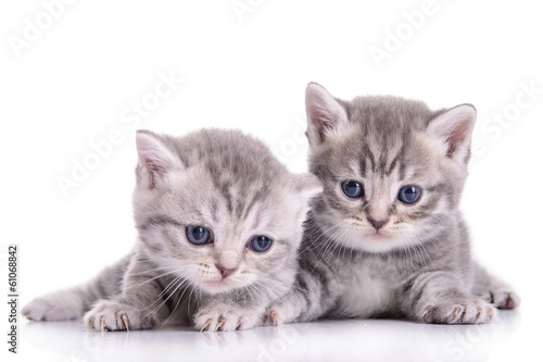 Staande foto Kat small Scottish kittens