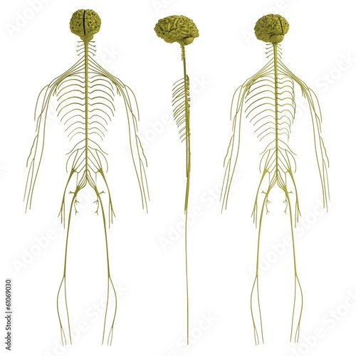 realistic 3d render of nervous system