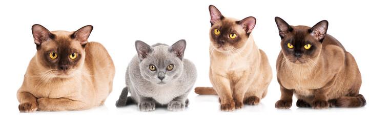 group of burmese cats