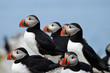 Close-Up of a Colony of Puffin Birds
