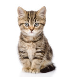 Scottish kitten looking at camera. isolated on white background
