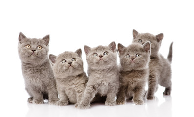 group british shorthair kittens. isolated on white background