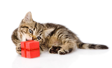 scottish kitten with gift. isolated on white background