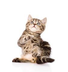 playful scottish kitten looking up. isolated on white background