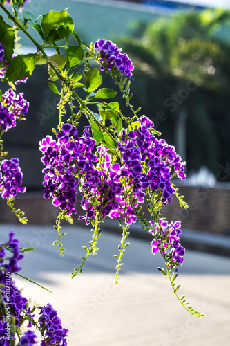 Duranta erecta purple flowers bloom beautifully in the garden