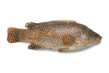 Whole red grouper fish