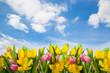 Natur himmel tulpen