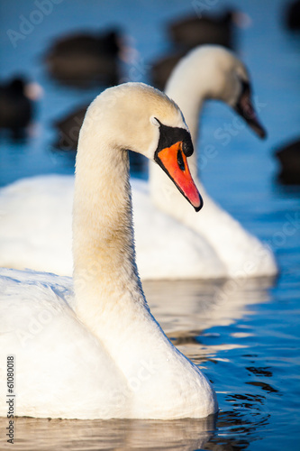 Tuinposter Zwaan Swans on the lake with blue water background