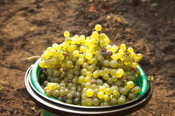 grapes, chardonnay, vintage
