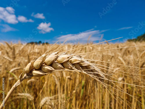 barley in a field