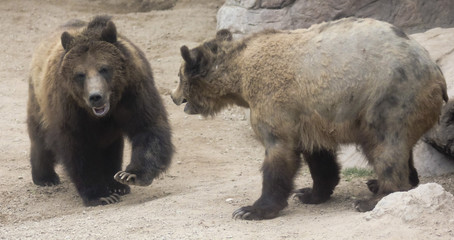 A Grizzly Pair Prepare to Face Off