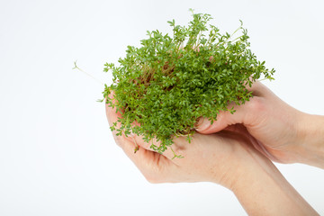 Fresh cress in the hand isolated on white background