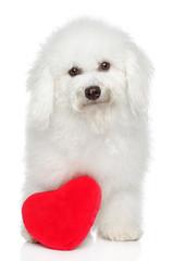 BichonFreeze dog with valentine heart